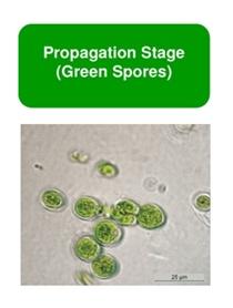 Hó alga koncentrátum